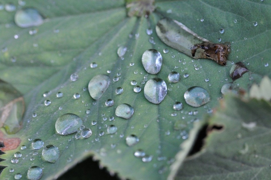 water drops on a big green leaf