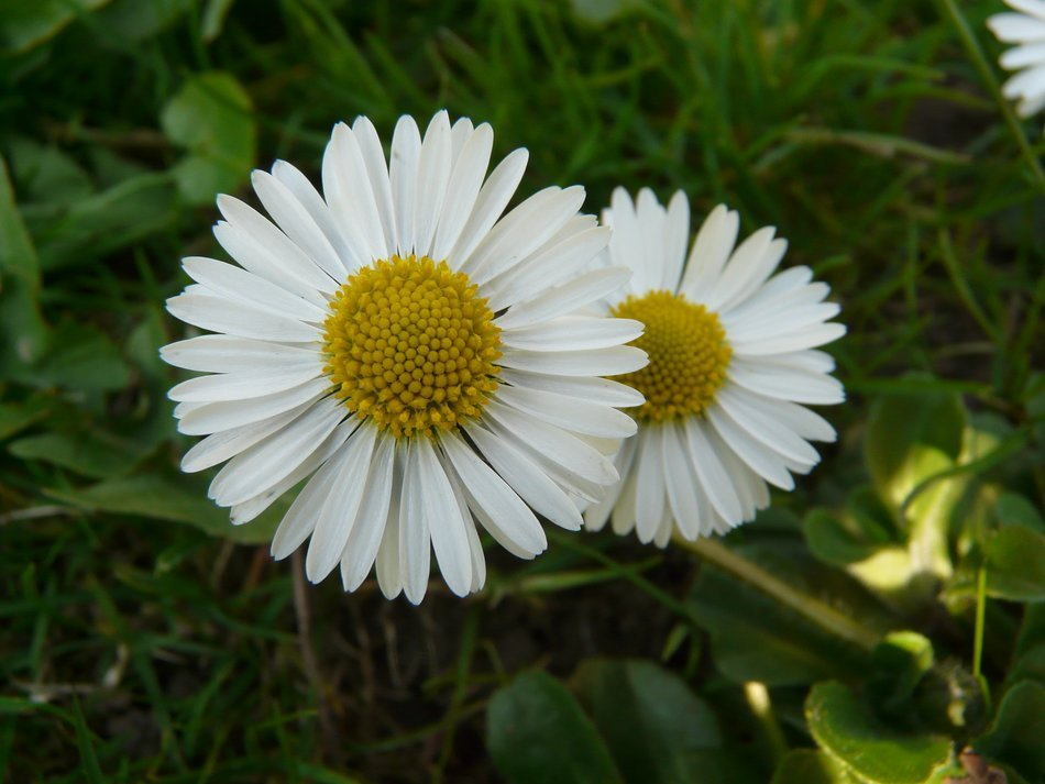 Two white daisy among green grass