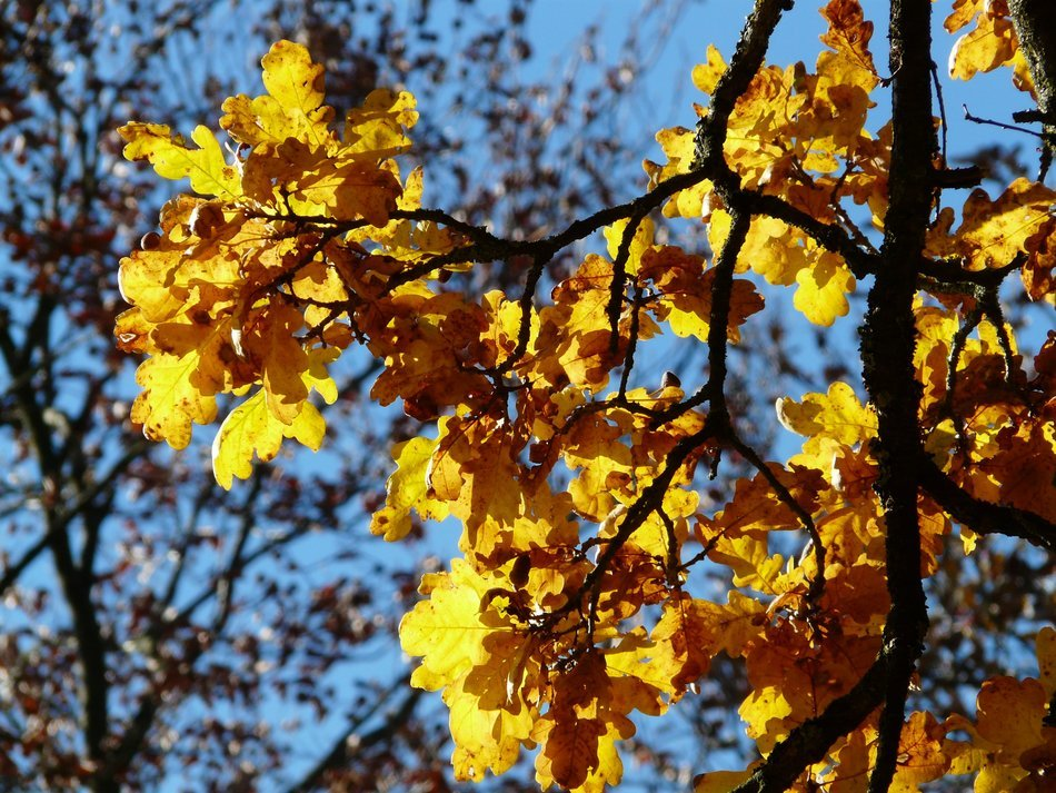 autumn oak leaves on a background of other trees