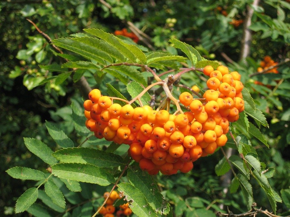 orange rowan berries on a tree