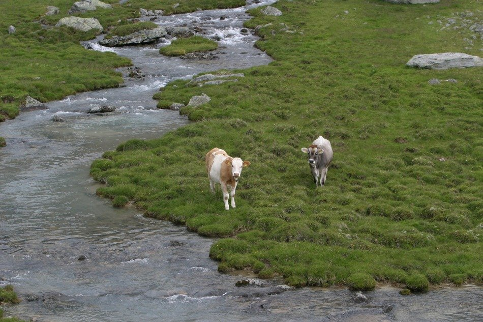 top view of the cows in the river valley in South Tyrol