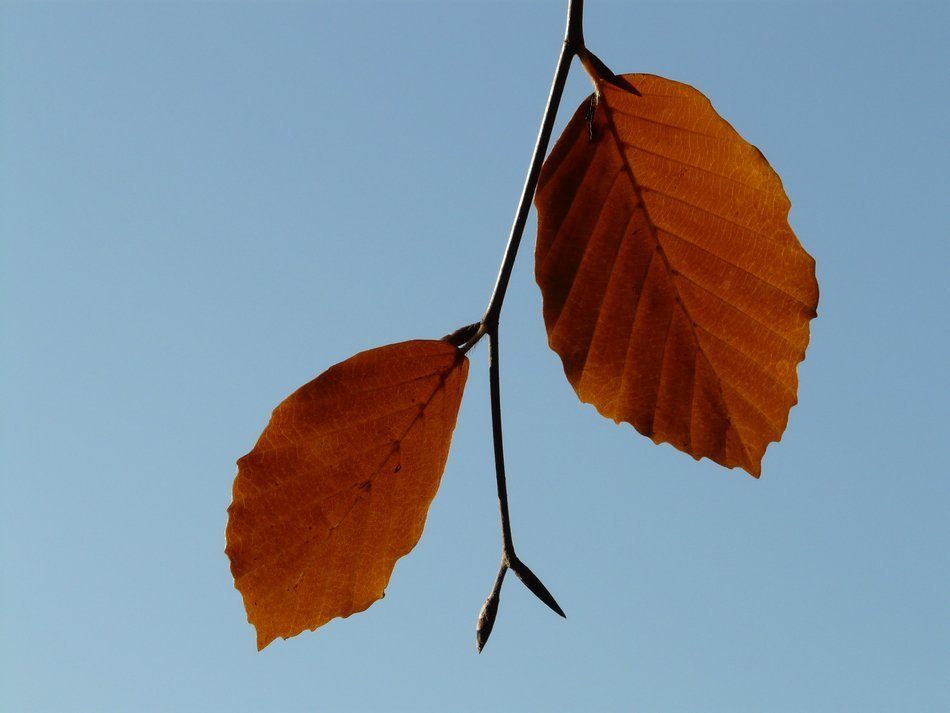 pair of leaves beech against the blue sky