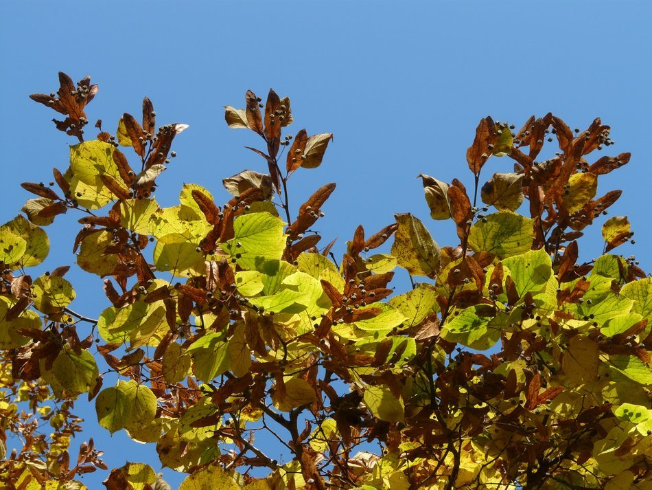 view of the blue sky through the autumn leaves of linden