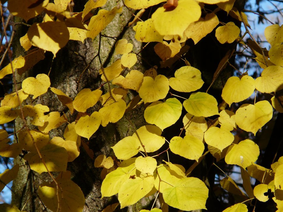 golden foliage entangles tree trunk