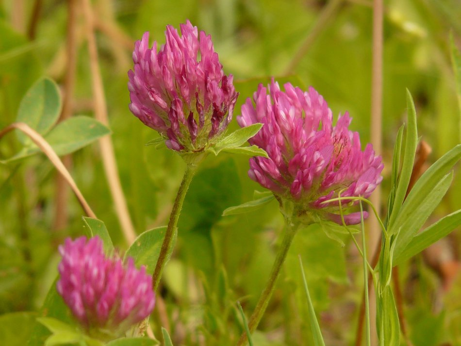 red clover in a meadow close-up