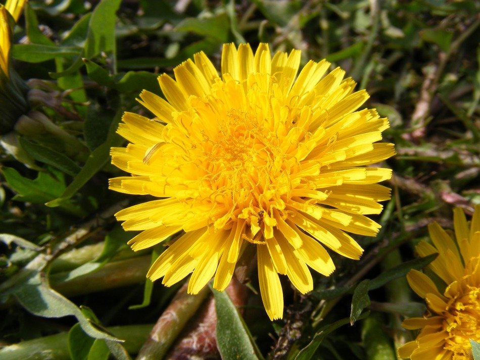 yellow dandelion in the grass
