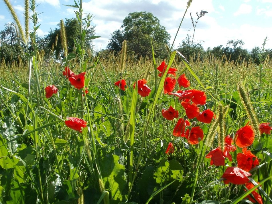 summer red poppies on a green field