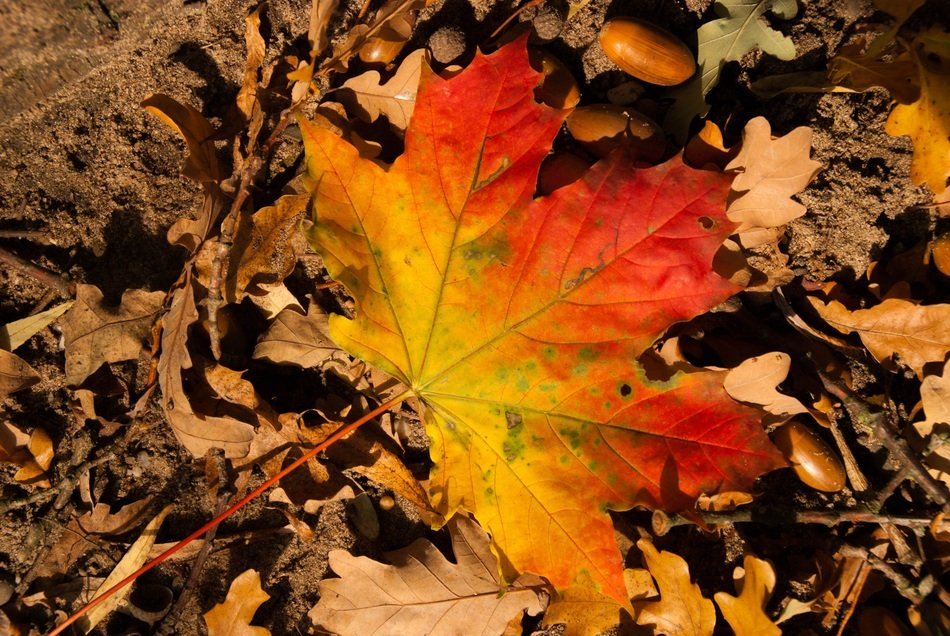 colorful maple leaf on ground