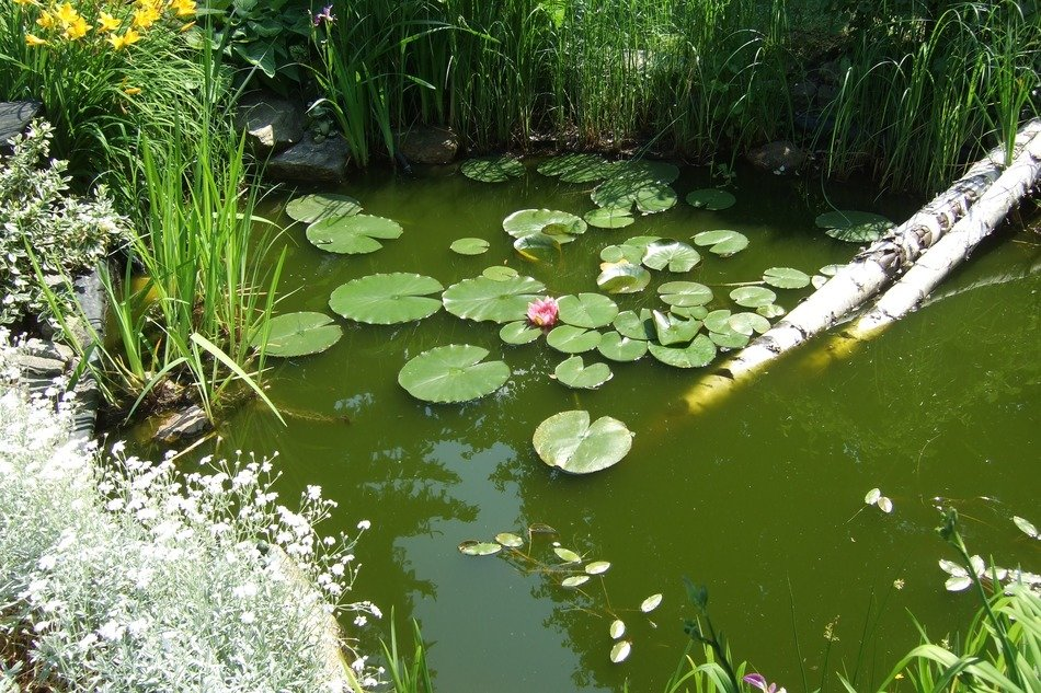 blooming water lilies in a green pond