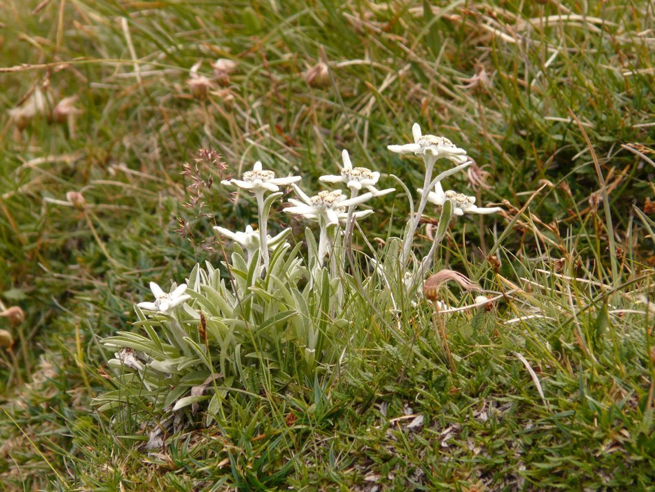 edelweiss in the grass