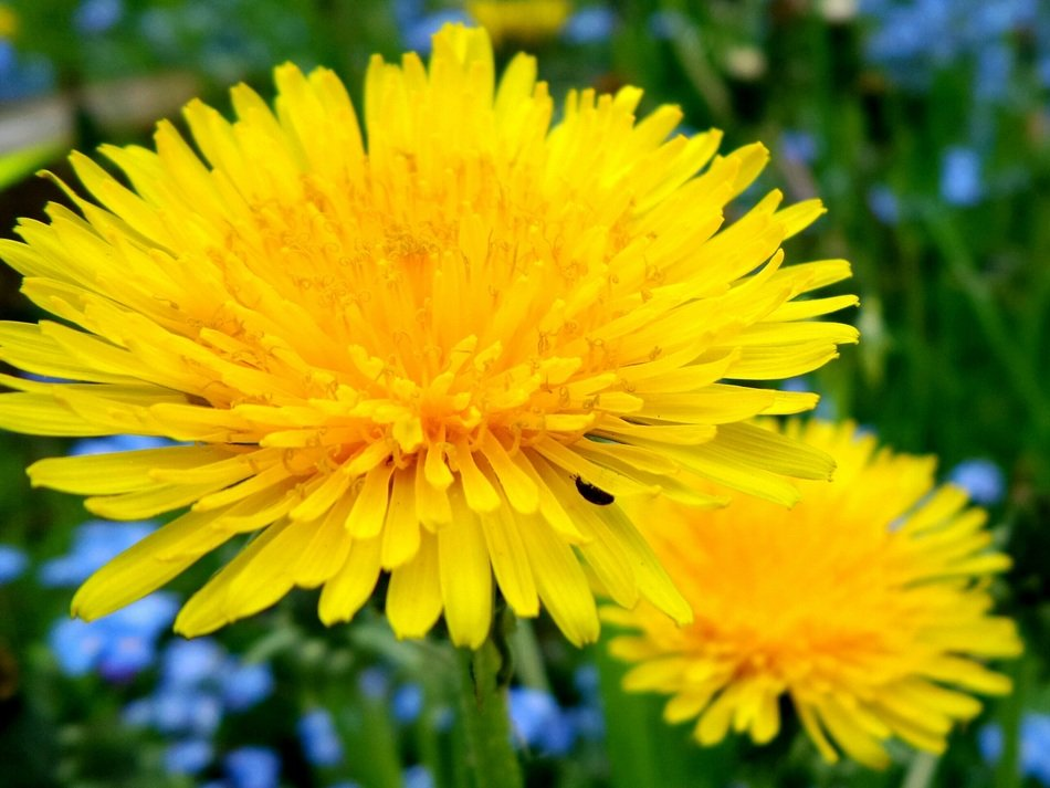 summer yellow dandelion flower closeup