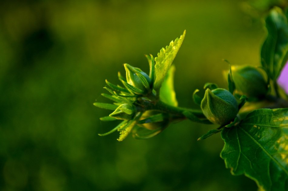 fresh flower plant green buds macro photo
