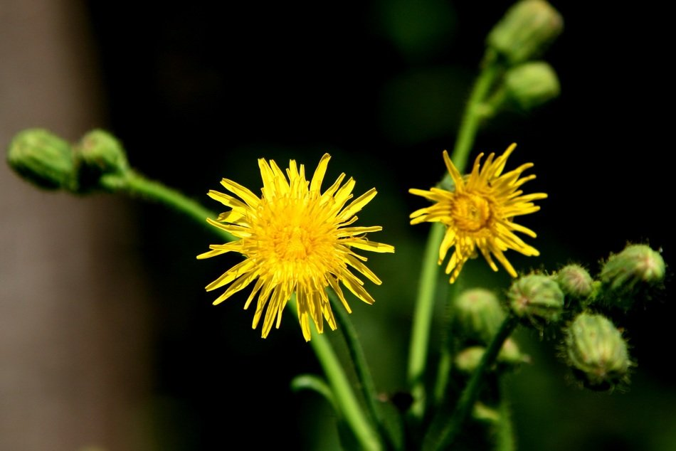 yellow dandelions with buds close up
