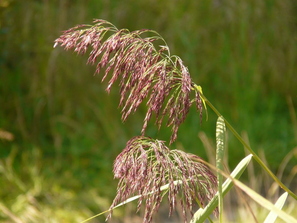 reed grass on a background of nature