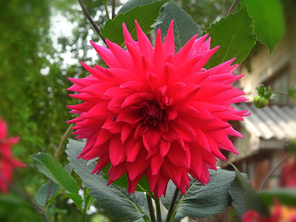 lush bright dahlia on stalk
