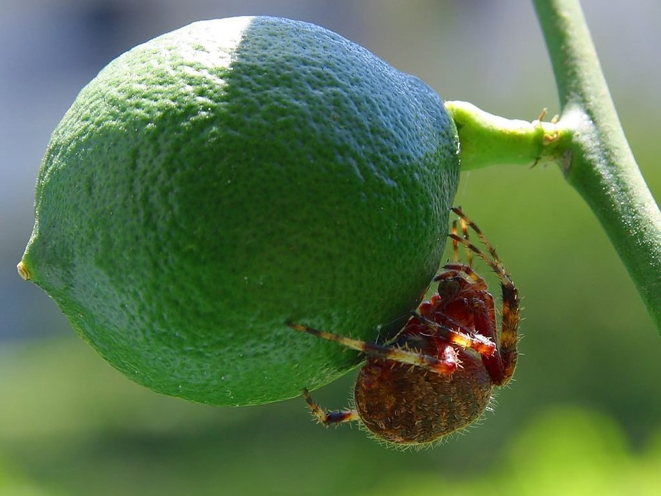 Big spider on a green lime