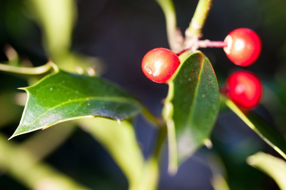 winter berries on a bush