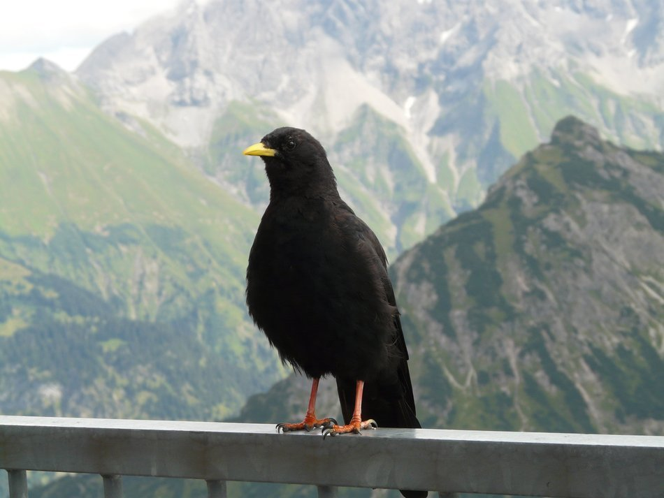Black Crow on a background of the Alps