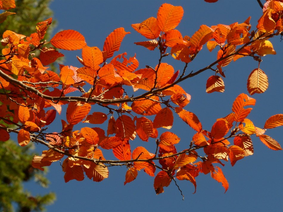 Colorful autumn leaves on a background of the dark blue sky
