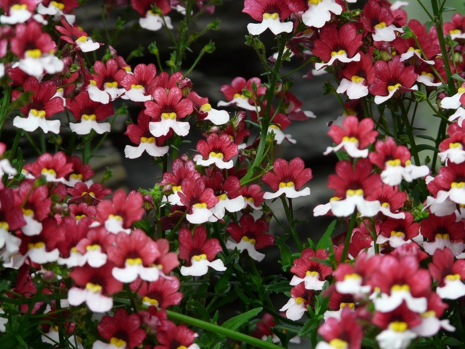 red-white Nemesia is an ornamental plant