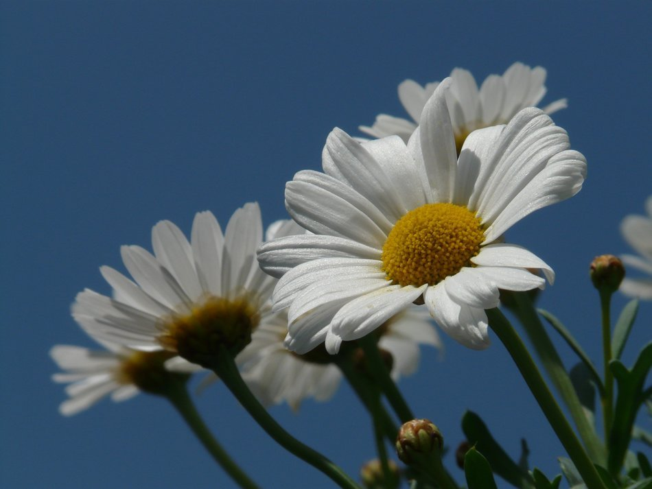 bottom view on the white daisies on a background of blue sky