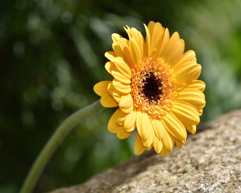 yellow marguerite flower