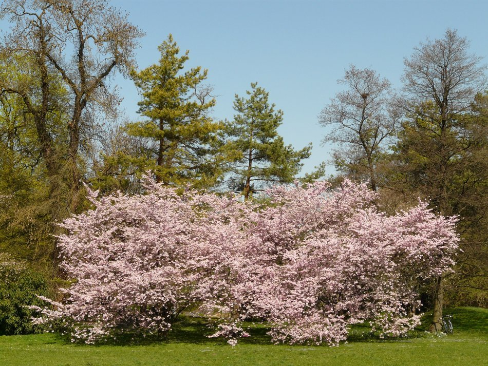 ornamental flowering cherry on a background of other trees