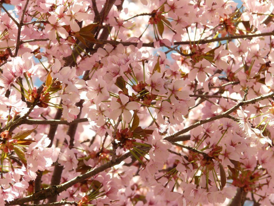 flowering of the Japanese cherry closeup