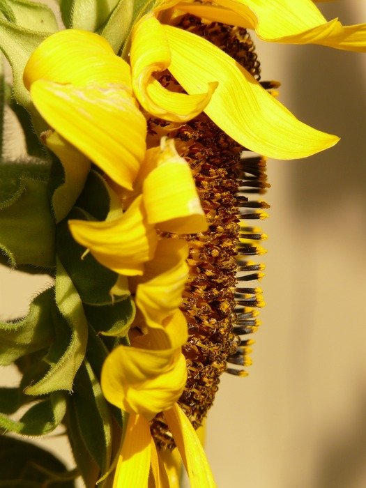Side view of the inflorescence of sunflower