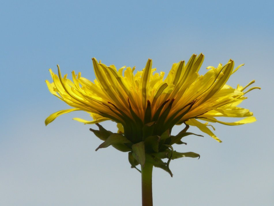 bottom view on yellow dandelion on the stalk