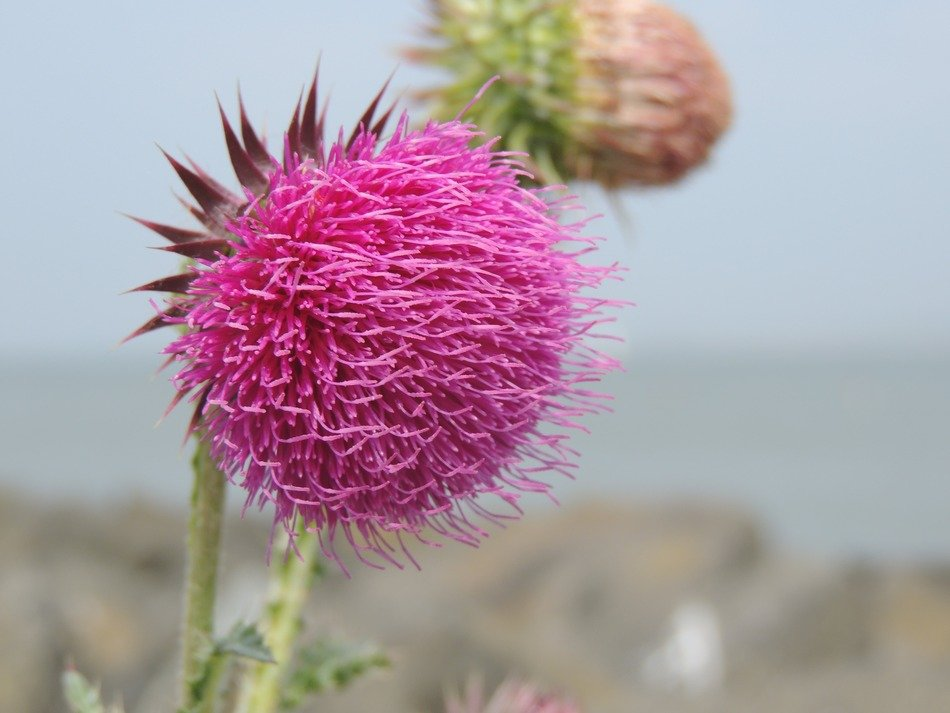 pink thistle close up