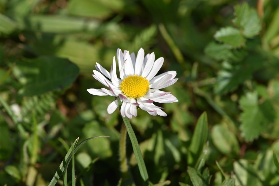 White daisy flower pointed in green grass