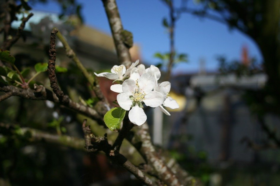 blossoms apple tree in spring