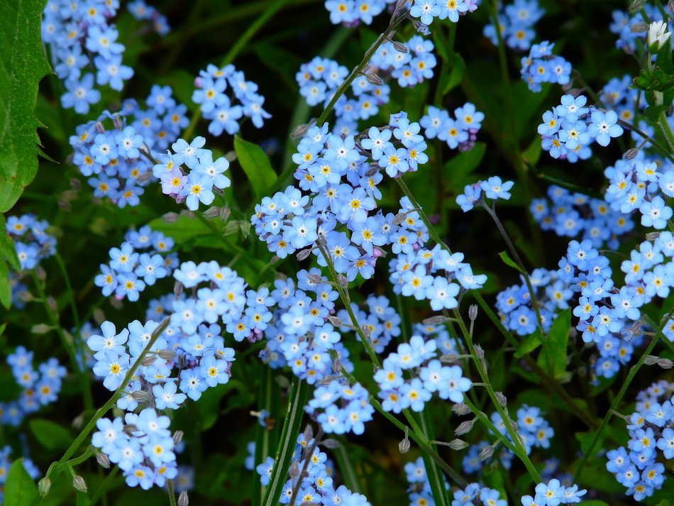 blue forget-me is wild flowers in the meadow
