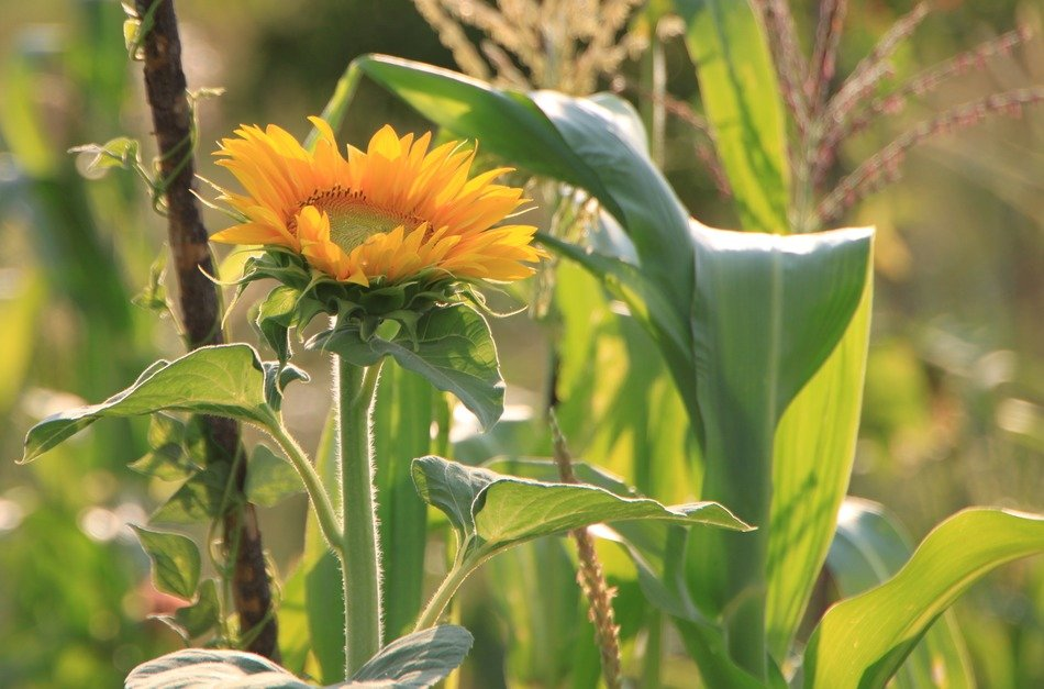 sunflower among different plants