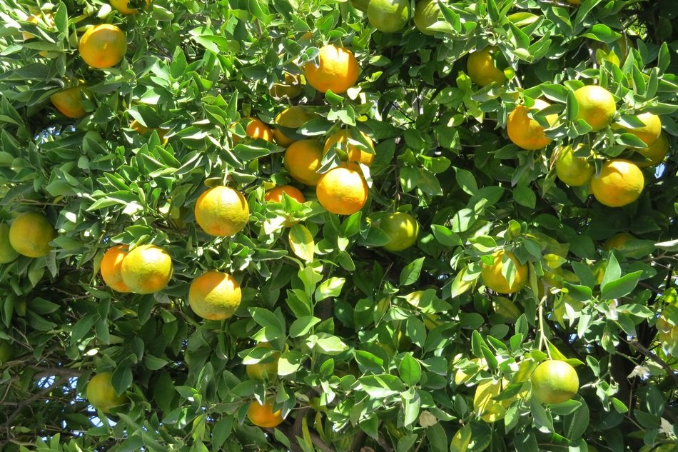 tree with tangerines in the garden