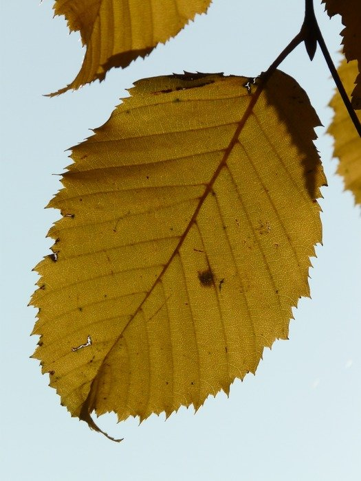autumn leaves hornbeam against the sky