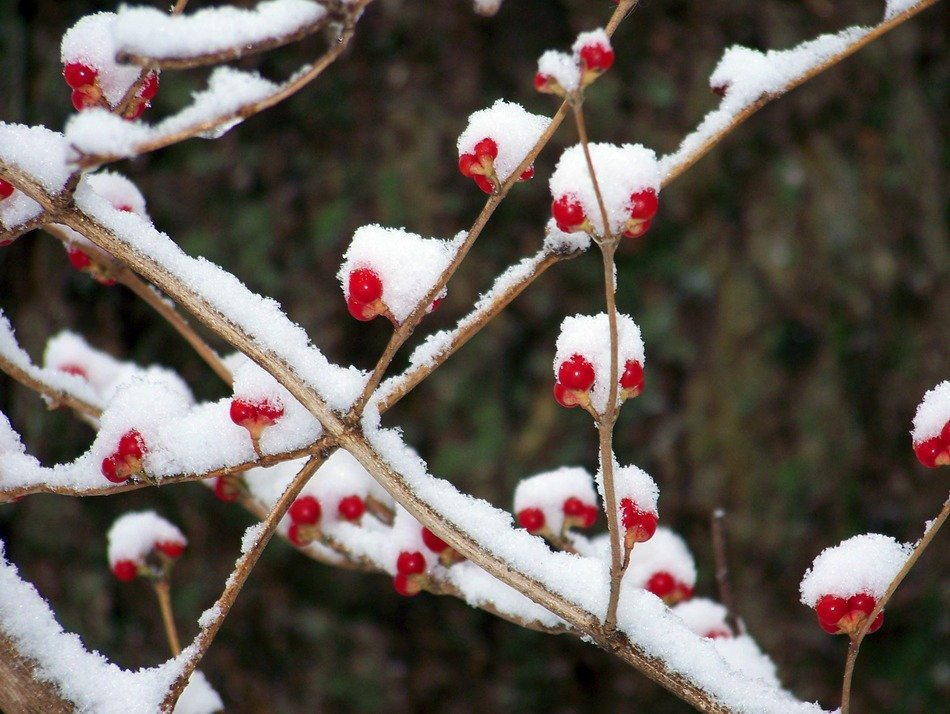 red berries on a tree in the snow