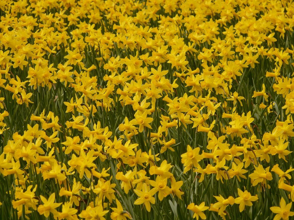Glade of yellow daffodils