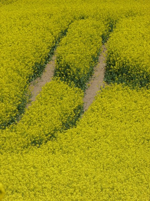 Rape field view from above