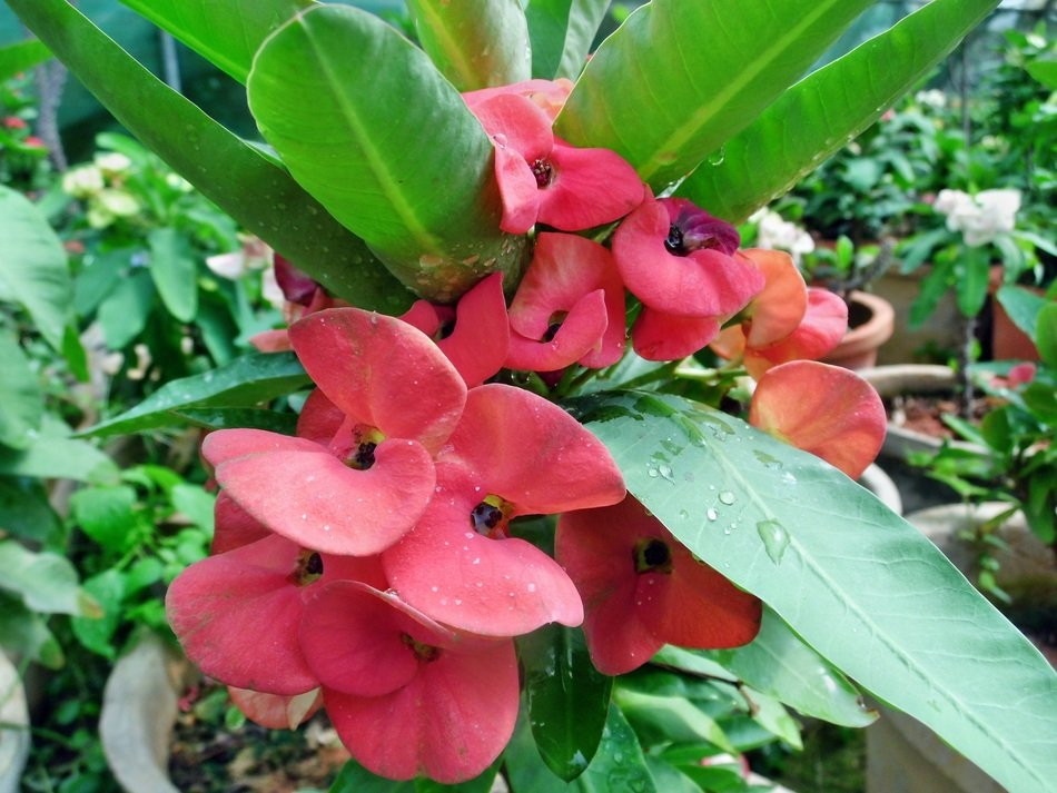 red euphorbia milii flowers plant
