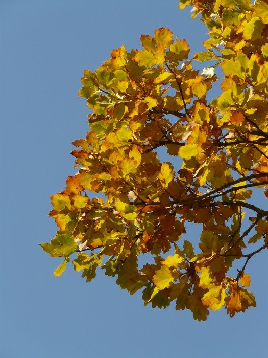 Oak branch against the background of the autumn sky