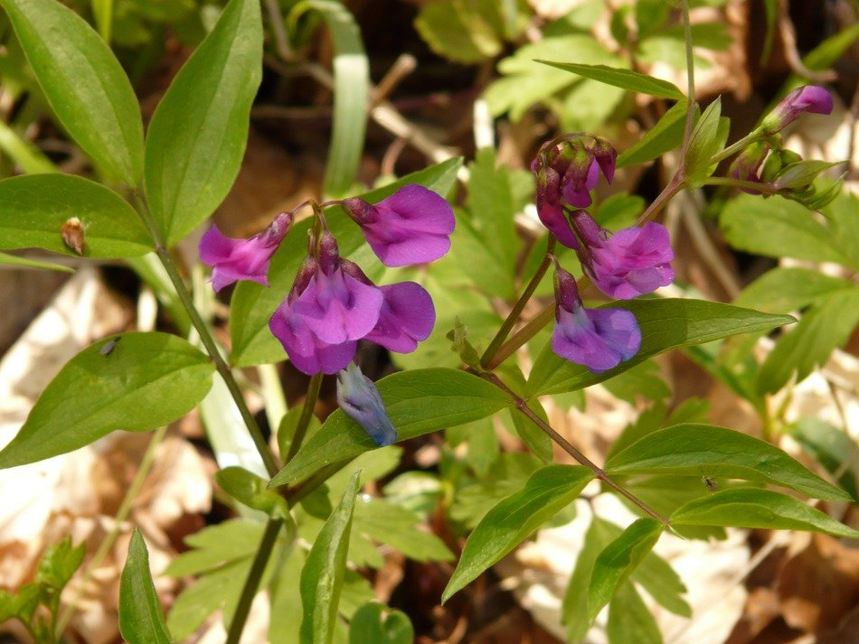 purple flowers of wild peas
