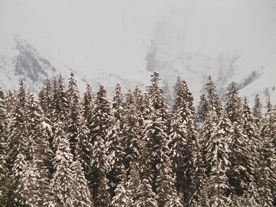fir forest in winter