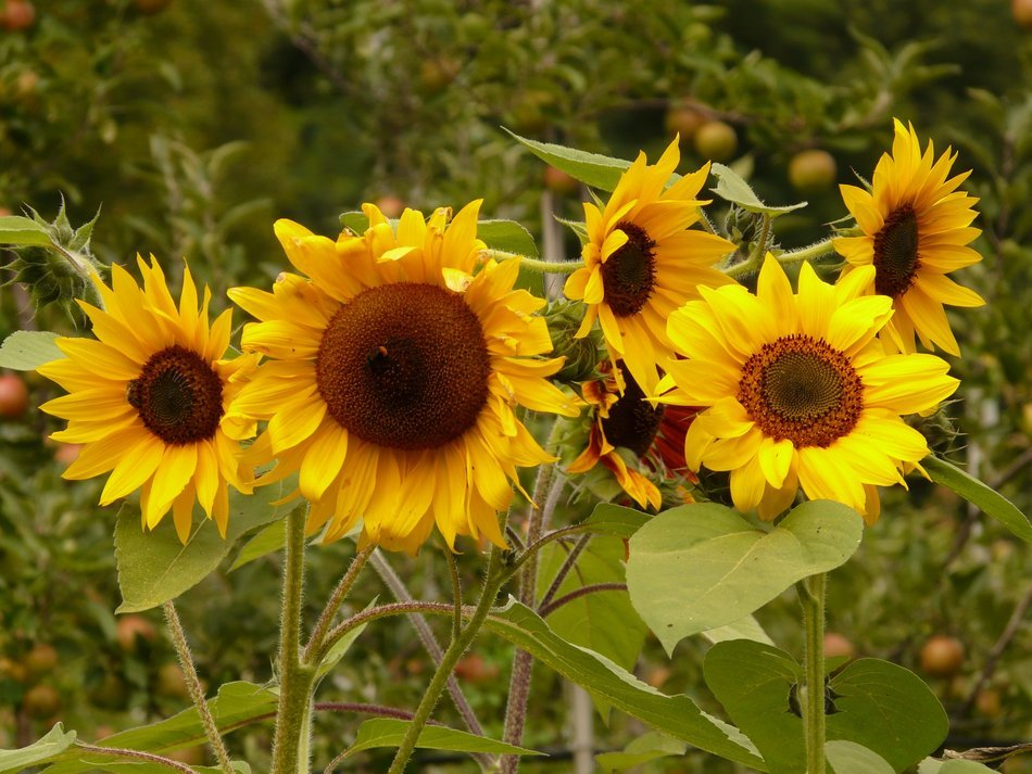 sunflowers on a background of nature