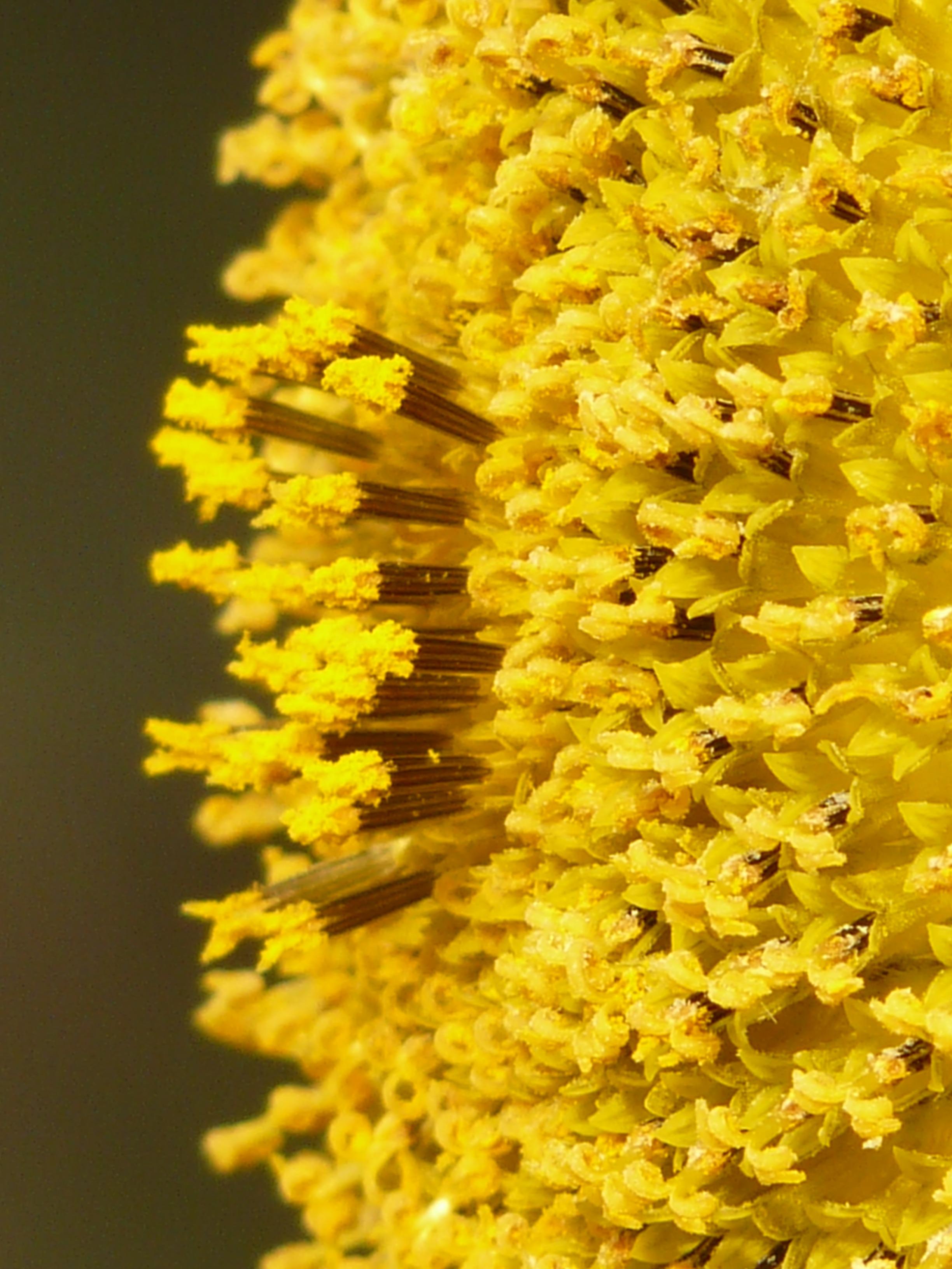 Inflorescence of yellow tubular flowers free image inflorescence of yellow tubular flowers mightylinksfo