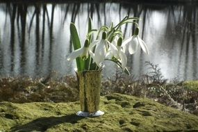 white snowdrop on the shore of the pond