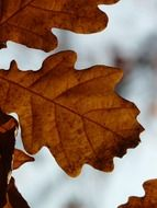Oak autumn leaves on a blurred background
