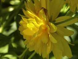 yellow dahlia close up