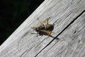 wasp on a wooden surface in bright sun close-up